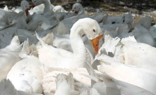 Bayburt'ta Kaz Çiftliği Kuran Üç Arkadaş Siparişlere Yetişemiyor