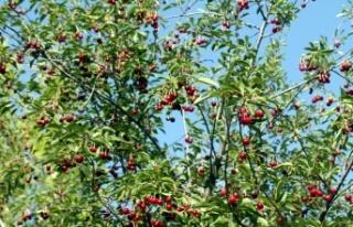 Yem Bitkisi Yerine Vişne ve Kiraz Ağacı Dikti,...
