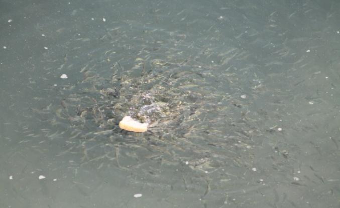 Mahsur kalan balıkları vatandaşlar besliyor